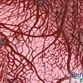 Blutgefässe