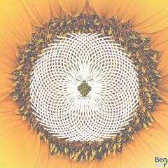Sonnenblume mit Fibonacci-Spiralen