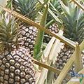 Ananas mit Fibonacci Spirale